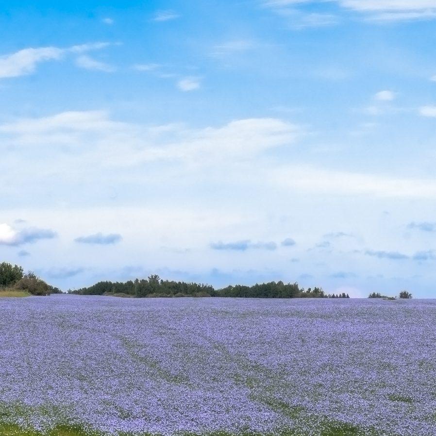 Blue flax lax field
